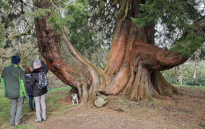 A large Cedar tree with people standing in front of it pointing